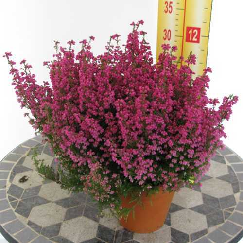 erica gracilis dark pink 1ltr