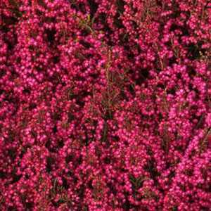 Erica Gracilis Dark Pink Approx. 1Ltr Pot