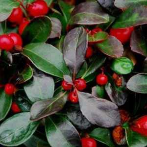 Gaultheria Procumbens (Checkerberry)