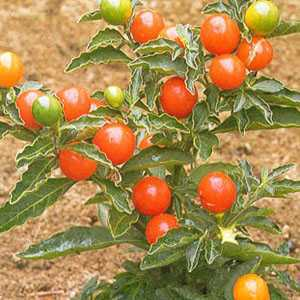 Solanum  Christmas Cherry