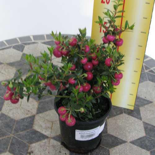 Pernettya Mucronata (Prickly Heath) Dark Pink 9cm