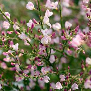 Cytisus 'Moyclare Pink' (Broom)