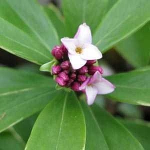 Daphne Odora Aureomarginata (Winter Daphne)