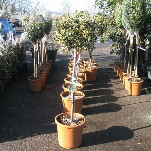 Ilex Aquifolium Argentea Marginata (Holly) 1/2 standard 18ltr