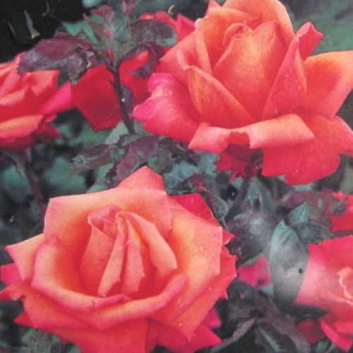 Troika Hybrid Tea Rose