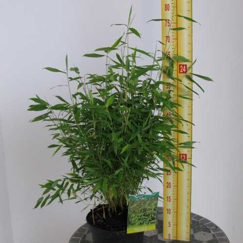 Fargesia Murielae 'Selection' Bamboo 3.5Ltr