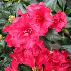 Rhododendron Dwarf 'Baden Baden'