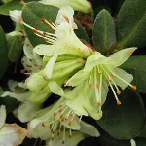 Rhododendron Dwarf 'Princess Ann'