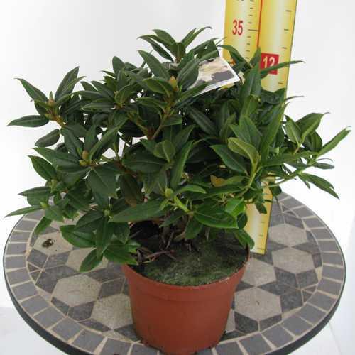 Rhododendron Dwarf 'Dora Amateis' (Amatheis)