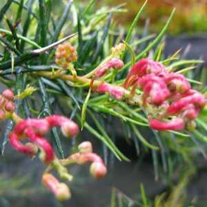 Grevillea Canberra Gem (Spider Flower)