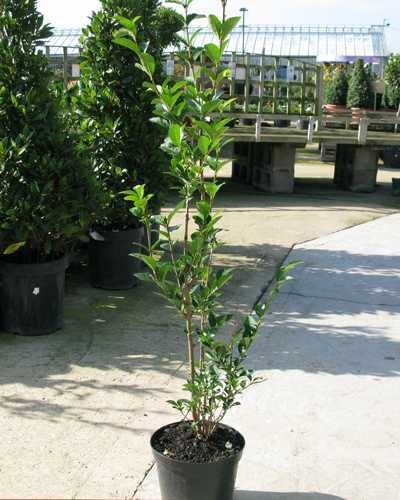Ligustrum ovalifolium Common Green Privet  80-100cm Hedging Plant 3Ltr Pot