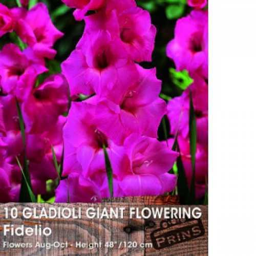 Gladioli Giant Flowering 'Fidelio' Bulbs 10 Per Pack