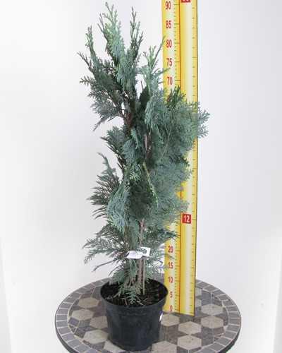 Chamaecyparis Lawsoniana Columnaris (Lawson Cypress) 50-70cm 3Ltr