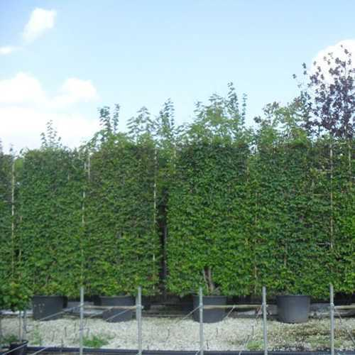 Carpinus Betulus (Hornbeam) 3 Dimensional Pleached Espalier Tree  150cm x 280cm 130ltr