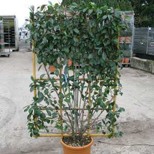 Photinia Fraseri Red Robin Espalier Trained Shrub 100cm x 160cm Metal Frame 30tr