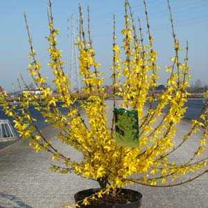Forsythia Intermedia Week End (Weekend)