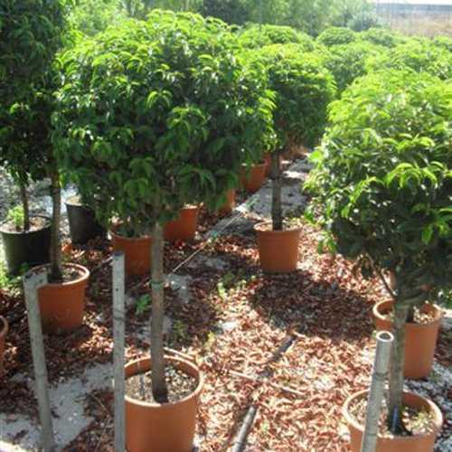 Prunus Lusitanica (Portuguese Laurel) 1/2 Standard 70cm-80cm 30Ltr