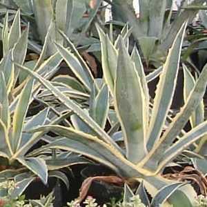 Agave Americana Variegata (Century Plant)  60-80cm 15Ltr Pot