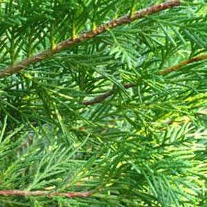 Leylandii Castlewellan Gold Cupressocyparis (Hedging) Conifer 60-70cm 3ltr