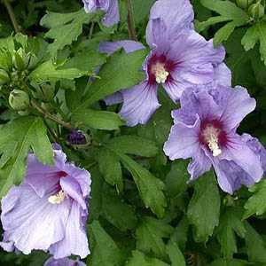 Hibiscus Syriacus Azure Blue (Rose of Sharon)