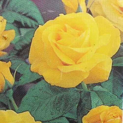 Golden Wedding (Arokris) Floribunda Rose