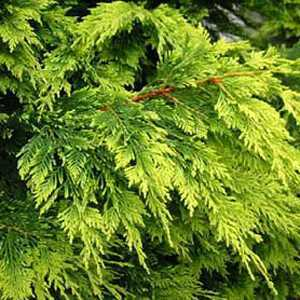 Leylandii Castlewellan Gold Cypressocyparis (Hedging) Conifer 80-100cm 5Ltr
