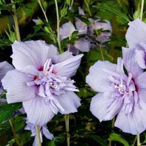 Hibiscus Syriacus Blue Chiffon (Rose of Sharon)