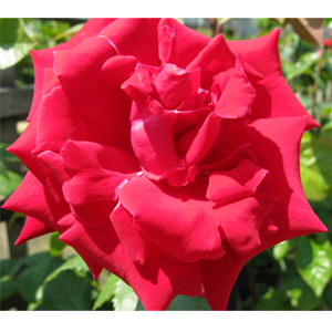 Rose Bush Hybrid Tea Uncle Walter Crimson/Scarlet 4ltr
