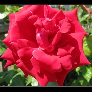 Rose Bush Hybrid Tea Dame De Coeur 3ltr