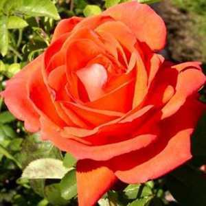 Rose Bush Hybrid Tea Super Star Coral/Orange 4 Ltr