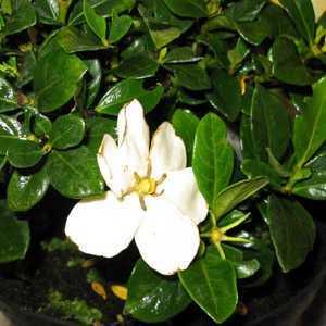 Gardenia Jasminoides Kleims Hardy