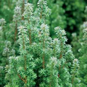 Chamaecyparis Thyoides 'Top Point' (Atlantic White Cedar)