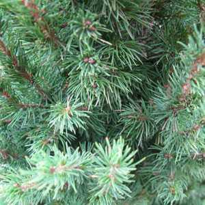 Picea Glauca Conica (Mini Christmas Tree) Dwarf Alberta Spruce 50-60cm 3Ltr