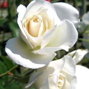 Rose Bush Iceberg (Korbin) Floribunda Rose White 4Ltr