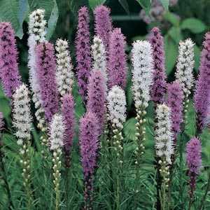 Liatris spicata (Button Snakewort) Mixed Bulbs 20 Per Pack