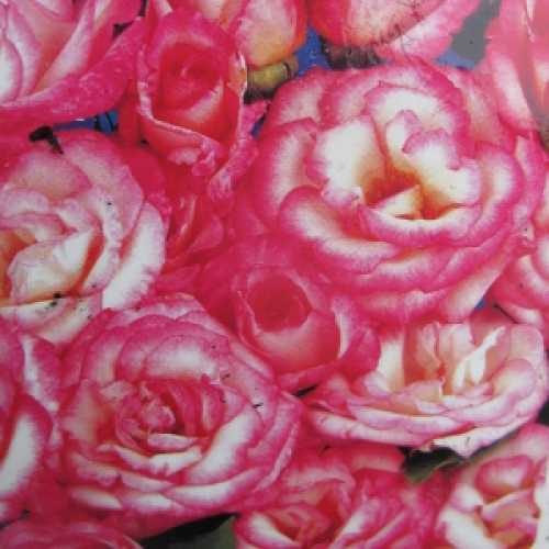 Handel (Macha) Climbing Rose