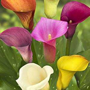 Zantedeschia Calla mixed (Arum Lily) Bulbs 3 Per Pack