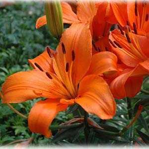Lily Asiatic 'Brunello' (Lilium 'Brunello') Bulbs 2 Per Pack