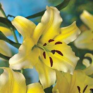 Lilium Oriental 'Conca d'or' (Lily 'Conca d'or') Bulbs 2 Per Pack