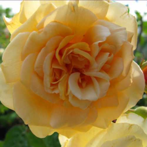 Rose Shrub Buff Beauty Apricot/Yellow 4Ltr