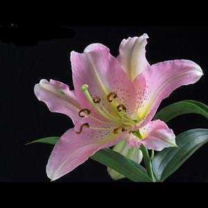 Lilium Oriental 'Lombardia' (Lily 'Lombardia') Bulbs 2 Per Pack