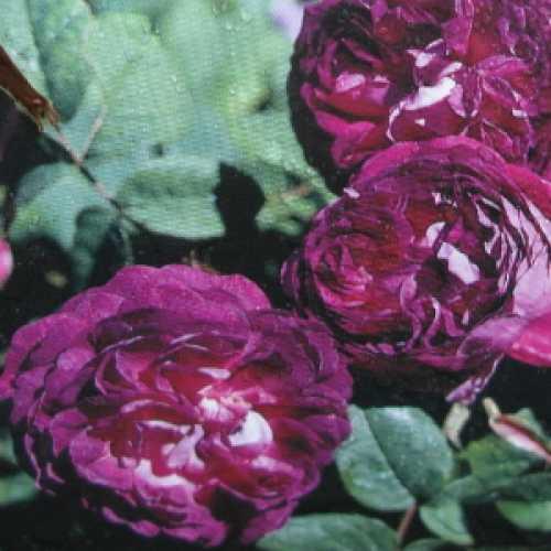 Cardinal De Richelieu Shrub Rose