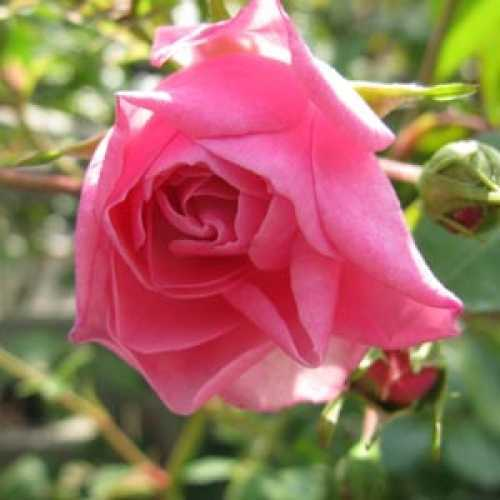 Bonica Rose Shrub  (Meidomonac) Rose Pink 4Ltr