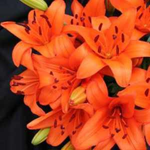 Lilium 'Asiatic Orange' (Lily 'Asiatic Orange') Bulbs 5 Per Pack
