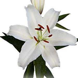 Lilium 'Oriental White' Bulbs (Lily 'Oriental White') Bulbs 5 Per Pack
