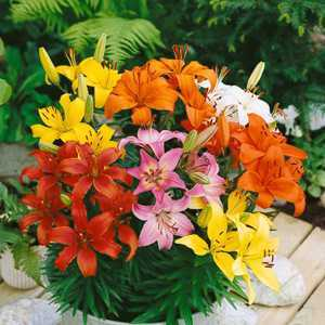 Lilium Pixie Mixed (Lily Pixie Mix) Bulbs 5 Per Pack