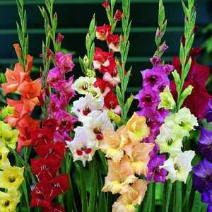 Gladioli Butterfly 'Mixed' Bulbs 10 Per Pack