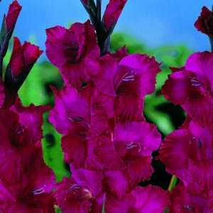 Gladioli Giant Flowering 'Plum Tart' Bulbs 10 Per Pack