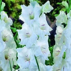Gladioli Giant Flowering 'White Prosperity' Bulbs 10 Per Pack