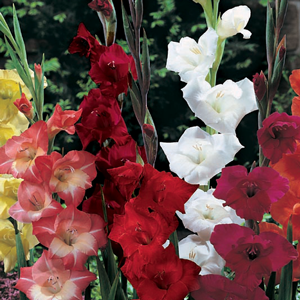 Gladioli 'Primulinus Mixed' Bulbs 10 Per Pack